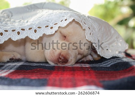 Portrait adorable little puppy, lying on the table - stock photo