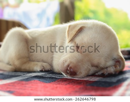 Portrait adorable little puppy, lying with on the table,focus on face - stock photo
