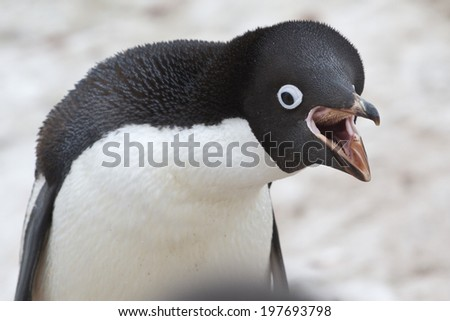 Portrait adult Adelie penguin who cries - stock photo