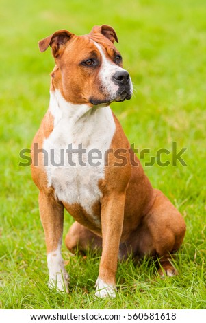 Portrait american Staffordshire terrie on green grass
