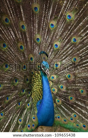 Portrait and close up of peacock showing its beautiful feathers - stock photo