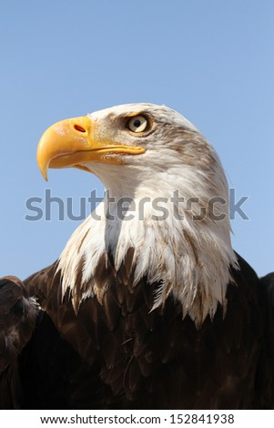 Portrait bald eagle - stock photo