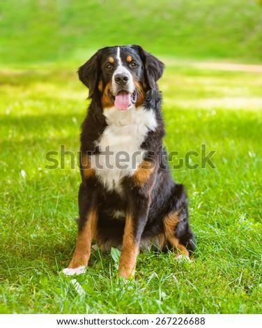 Portrait Berner Sennenhund dog on green grass - stock photo
