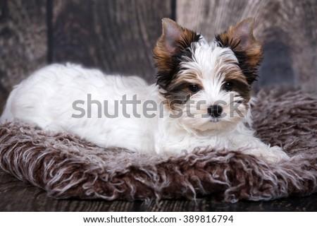 Portrait Biewer Yorkshire terrier puppy - stock photo