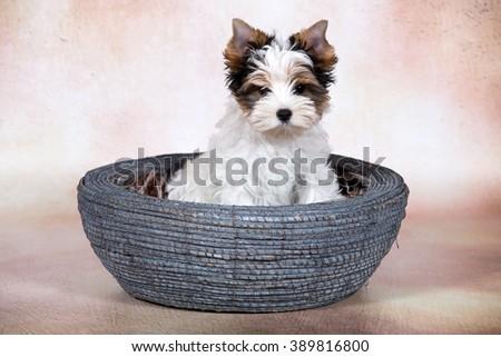 Portrait Biewer Yorkshire terrier puppy on brown background - stock photo