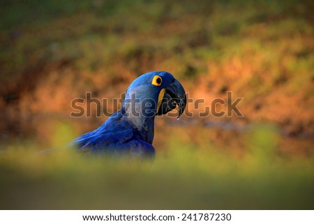 Portrait big blue parrot Hyacinth Macaw, Anodorhynchus hyacinthinus, with drop of water on the bill, Pantanal, Brazil, South America - stock photo