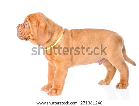 Portrait Bordeaux puppy dog standing in profile. isolated on white background