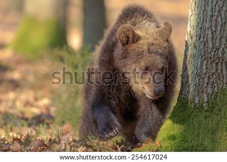 portrait brown bear - stock photo