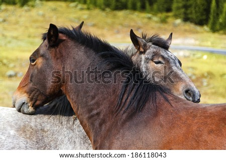 portrait closeup of two horses on a pasture