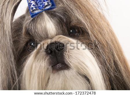 portrait closeup Shih Tzu, the Chinese breed  - stock photo