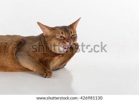 Portrait Curious Abyssinian cat lying on ground and lick leg. White background with reflection. - stock photo