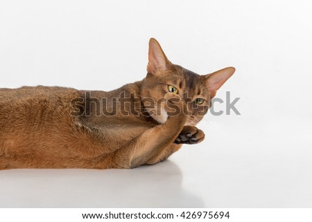 Portrait Curious Abyssinian cat lying on ground and show feet as fist. White background with reflection. - stock photo