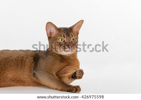 Portrait Curious Abyssinian cat lying on ground. White background with reflection. - stock photo