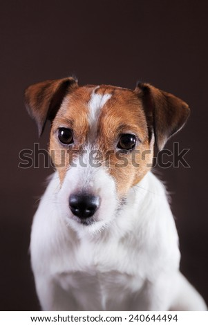 Portrait  dog Jack Russell  on a brown studio background - stock photo