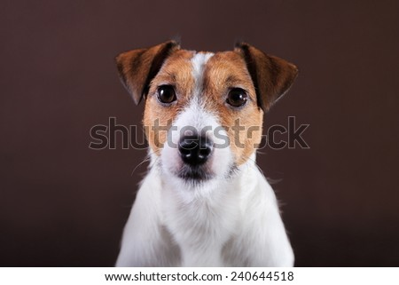 Portrait  dog Jack Russell  on a brown studio background
