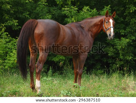 Portrait Don horse in summer evening  - stock photo