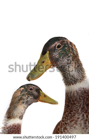 portrait duck on a white background