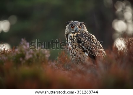 portrait eagle owl - stock photo