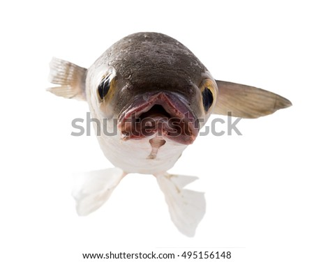 Portrait fish  Striped mullet (Mugil cephalus) isolated on white background, front view