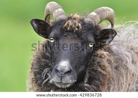 Portrait from a Heidschnucke sheep - stock photo