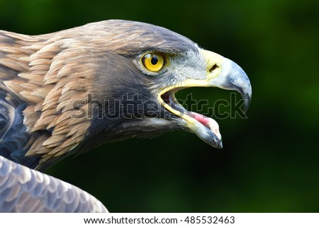 Portrait from a proud Golden eagle.