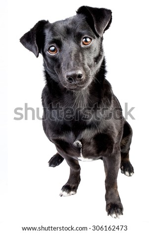 Portrait front black dog isolated