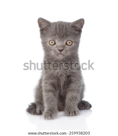 Portrait funny tiny gray kitten. isolated on white background