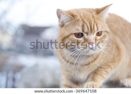 Portrait ginger cat dissatisfied. Scottish Straight breed cat red color
