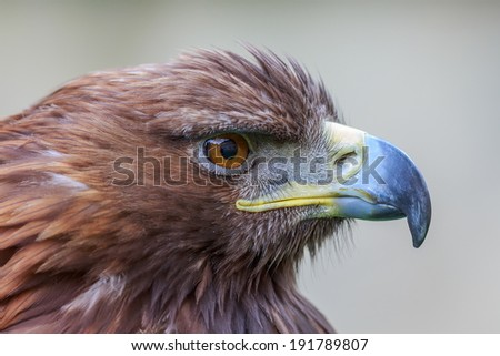 portrait golden eagle