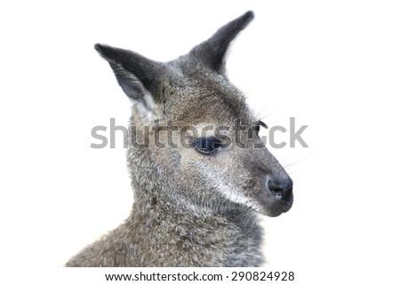 portrait  gray kangaroo isolated on a white background - stock photo