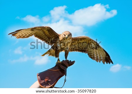 Portrait hawk on falconer gloves and blue sky - stock photo