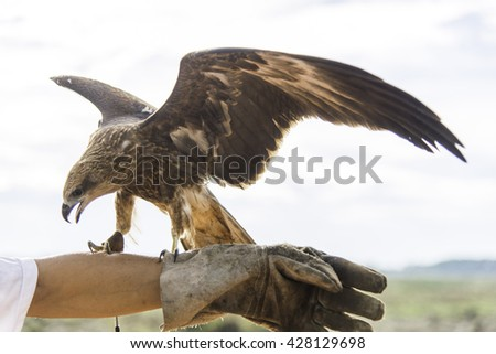 Portrait hawk on falconer gloves and blue sky