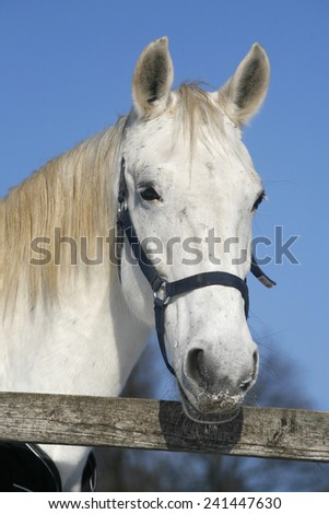 Portrait head shot of a gray thoroughbred horse in winter corral on a sunny day rural scene as a background  - stock photo