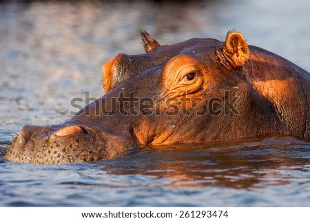 Portrait Hippopotamus, Hippopotamus amphibius, Chobe National Park, Botswana - stock photo