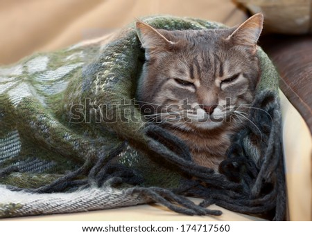 portrait home tabby gray cat resting in a blanket - stock photo