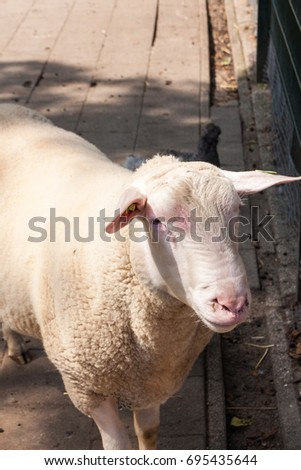 Portrait image of a ewe sheep in a farm