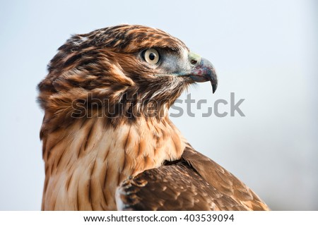 Portrait in profile of a Red Tailed Hawk looking into the distance. Close-up of hawkâ??s head, beautiful feather detail and a powerful, determined gaze - stock photo