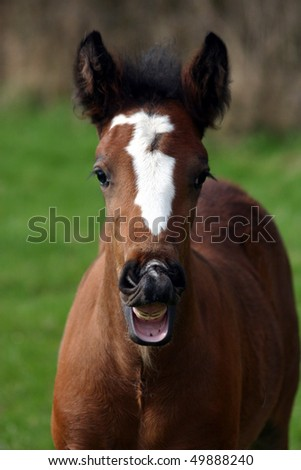 Portrait Irish Cob foal - stock photo