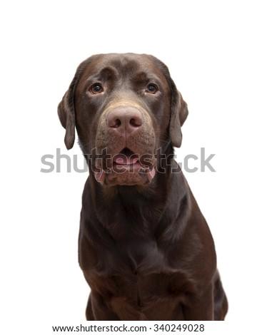 Portrait labrador chocolate color on a white background. horizontal photo. - stock photo
