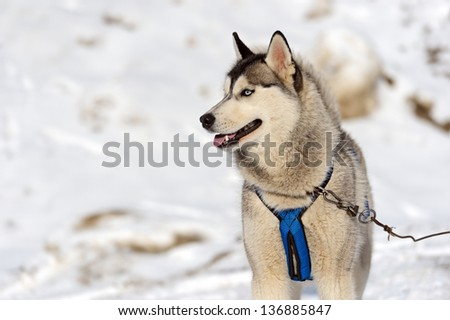 Portrait Laiki Husky dog sled in winter