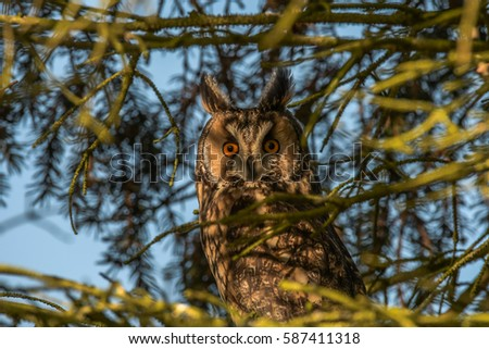 Portrait Long-eared Owl with big orange eyes n a pine trunk, wild animal in the nature winter quarters, germany