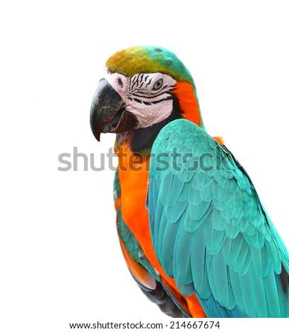 portrait macaw bird isolated on white background  - stock photo
