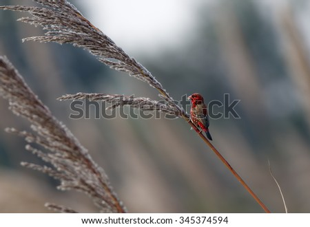 Portrait Male deep red of Red Avadavat(Amandava amandava) - stock photo