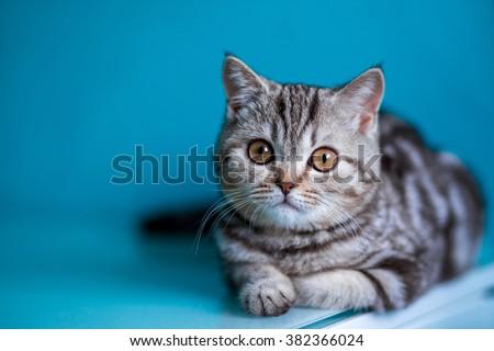 portrait marble tabby Scottish straight kitten . Kitten on a black background - stock photo