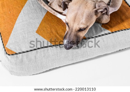 Portrait of a adorable italian greyhound puppy - stock photo