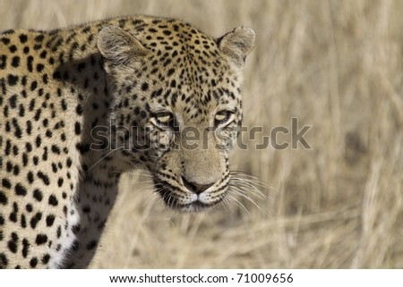 portrait of a africa leopard in the savanna