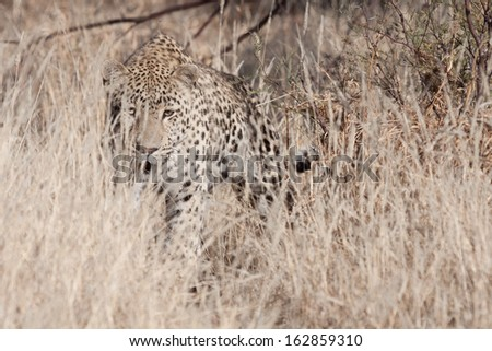 portrait of a african leopard stalking in the dry grass of the african savanna - stock photo