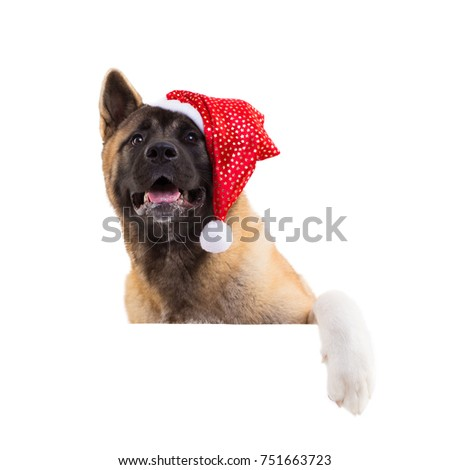 portrait of a american akita  in a Christmas hat
