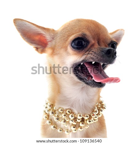 portrait of a angry  purebred chihuahua with pearl collar in front of white background - stock photo