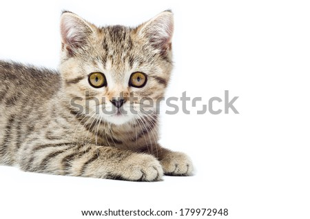 Portrait of a attractive kitten Scottish Straight closeup